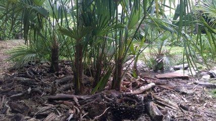 Trachycarpus ukhrulensis