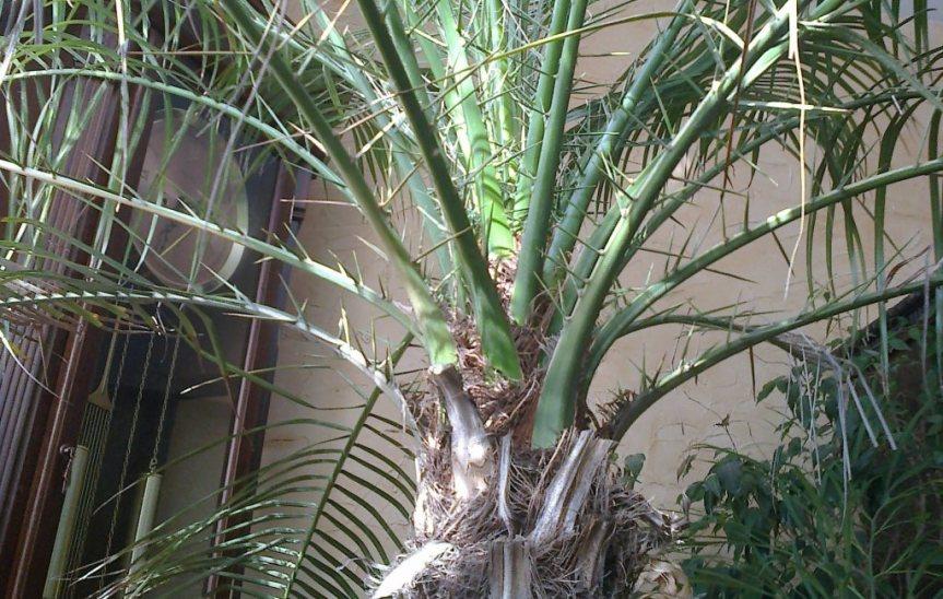 Phoenix robelenii