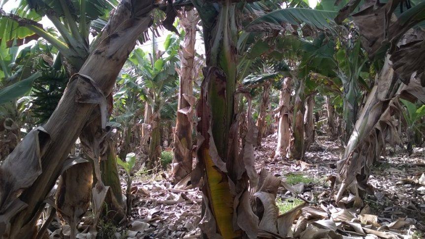 Banany na Teneryfie