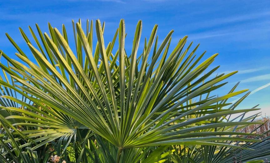 Jak szybko palmy rosną w Polsce? (cz.I)