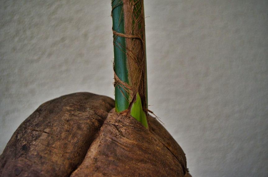 Cocos nucifera cz.II